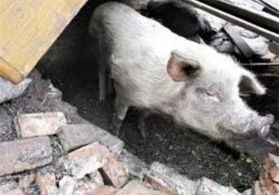 被困废墟中,凭借着吃木炭,喝雨水,猪坚持了36天.
